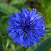 Centaurea cyanus 'Jubilee Gem' (23/05/2012)  added by Shoot)