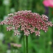 Daucus carota 'Dara' (23/05/2012)  added by Shoot)