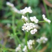 Peucedanum palustre (23/05/2012)  added by Shoot)