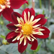 Dahlia 'Chimborazo' (22/10/2019) Dahlia 'Chimborazo' added by Shoot)