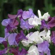 Lathyrus odoratus Rhythm n Blues Mix (23/05/2012)  added by Shoot)