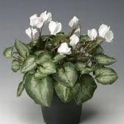Cyclamen hederifolium Amaze Me Series (23/05/2012)  added by Shoot)
