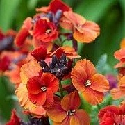 Erysimum 'Winter Rouge' (13/06/2012)  added by Shoot)
