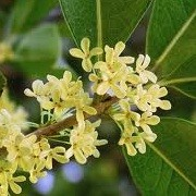 Osmanthus fragrans (16/06/2012)  added by Shoot)