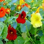 Tropaeolum majus 'Black Velvet' (Tom Thumb Series) (23/06/2012)  added by Shoot)