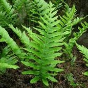 Polypodium scouleri (23/06/2012)  added by Shoot)