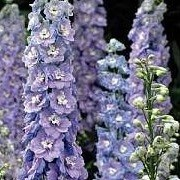 Delphinium 'Centurion Lilac Blue Bicolour' (Centurion Series) (29/06/2012)  added by Shoot)