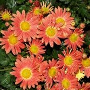 Chrysanthemum 'Cottage Apricot'