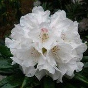Rhododendron 'Blewbury'  (29/06/2012)  added by Shoot)