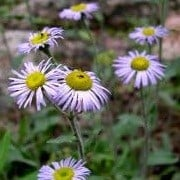 Erigeron formosissimus (28/06/2012)  added by Shoot)