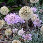 scabiosa cretica (29/06/2012)  added by Shoot)
