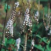 Persicaria amplexicaulis 'Alba' (04/07/2012)  added by Shoot)