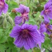 Geranium x magnificum 'Rosemoor' (21/07/2012)  added by Shoot)