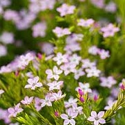 Diosma ericoides 'Sunset Gold'