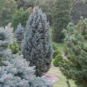 Picea pungens 'Iseli Fastigiate' (19/08/2012)  added by Shoot)