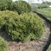 Taxus x media 'Densiformis' (19/08/2012)  added by Shoot)