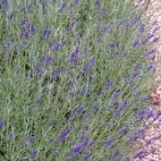 Lavandula angustifolia 'Oxford Gem'