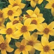 Bidens ferulifolia 'Solaire Yellow' (13/08/2012)  added by Shoot)