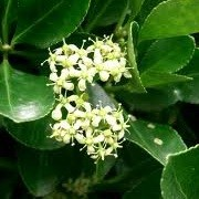 Euonymus japonicus (19/08/2012)  added by Shoot)