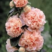 Alcea rosea Chater's Double Group salmon pink-flowered