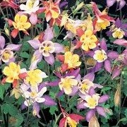 Aquilegia Mrs Scott-Elliot hybrids (23/09/2012)  added by Shoot)