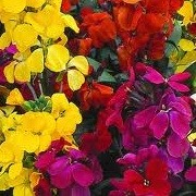 Erysimum Most Scented Mix (23/09/2012)  added by Shoot)