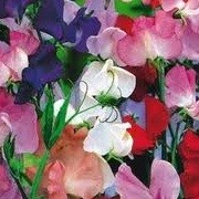 Lathyrus odoratus Early Mammoth Mix (22/09/2012)  added by Shoot)