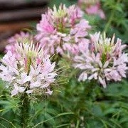 Cleome hassleriana 'Rose Queen' (22/09/2012)  added by Shoot)