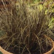 Carex comans red-leaved