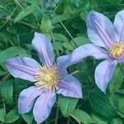 Clematis 'Amelia Joan' (17/09/2012)  added by Shoot)