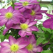 Clematis 'Allegro' (19/09/2012)  added by Shoot)
