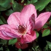 Clematis 'Annie Treasure' (19/09/2012)  added by Shoot)