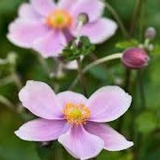 Anemone x hybrida 'Pretty Lady Julia' (Pretty Lady Series) (19/09/2012)  added by Shoot)