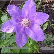 Clematis 'Beauty of Richmond' (23/09/2012)  added by Shoot)