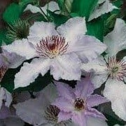 Clematis 'Benedictus' (23/09/2012)  added by Shoot)
