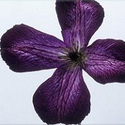 Clematis 'Buckland Maiden' (01/10/2012)  added by Shoot)