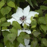 Clematis 'Christian Steven' (01/10/2012)  added by Shoot)