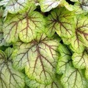 Heuchera 'Circus' (01/10/2012)  added by Shoot)