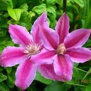 Clematis 'Doctor Ruppel' (02/10/2012)  added by Shoot)