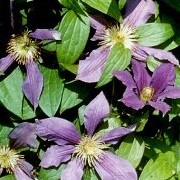 Clematis 'Dymchatyi' (13/10/2012)  added by Shoot)