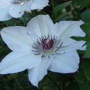Clematis 'Ester' (13/10/2012)  added by Shoot)