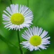 Erigeron annuus (12/10/2012)  added by Shoot)