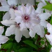 Clematis 'Fair Rosamond'