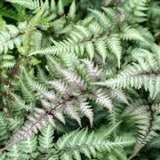 Athyrium niponicum var. pictum 'Red Beauty' (12/10/2012)  added by Shoot)