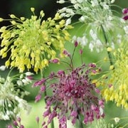 Allium Firecracker Mix