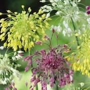 Allium Firecracker Mix (12/10/2012)  added by Shoot)