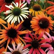 Echinacea Magic Box Mix (03/01/2013)  added by Shoot)