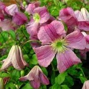 Clematis 'Krakowiak' (02/01/2013)  added by Shoot)