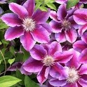 Clematis 'Kilian Donahue' (02/01/2013)  added by Shoot)