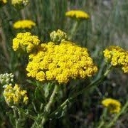 Achillea ageratum (08/11/2012)  added by Shoot)